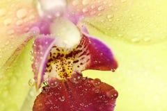 Germoglio giallo dell'orchidea con il fondo delle orchidee delle gocce di acqua Fotografie Stock