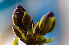 Germoglio lilla Fotografia Stock