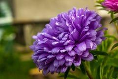 Germoglio lilla dell'aster Fotografie Stock