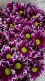 Germoglio porpora di verde del fiore Fotografie Stock Libere da Diritti