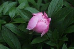 Germoglio rosa della peonia immagini stock