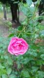 Germoglio rosa di Rosa che fiorisce con le goccioline fotografia stock