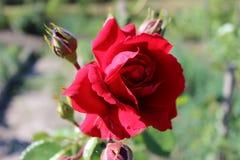 Germoglio rosa rosa di fioritura nel giardino fotografia stock libera da diritti