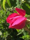 Germoglio rosa rosa-rosso luminoso che inizia appena a fiorire fotografia stock libera da diritti