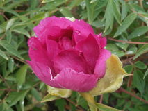 Germoglio semiaperto di una peonia rosa nelle goccioline di pioggia fotografia stock