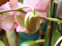Germoglio Unblown dell'orchidea immagini stock