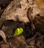 Germoglio verde Fotografia Stock Libera da Diritti
