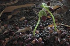 Germoglio verde che cresce dal seme Fotografia Stock