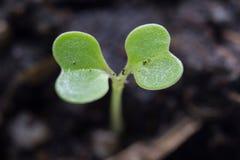 Germoglio verde che cresce dal seme Fotografia Stock Libera da Diritti