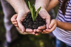 Germoglio verde che cresce in mani dell'uomo e del bambino adulti fotografia stock libera da diritti