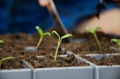 Germoglio verde dei giovani del pomodoro in cellule Fotografie Stock Libere da Diritti