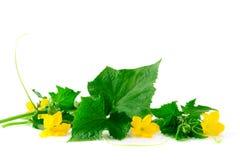 Germoglio verde del cetriolo con i fiori su un fondo bianco Fotografia Stock Libera da Diritti