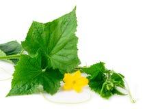 Germoglio verde del cetriolo con i fiori su un fondo bianco Immagini Stock Libere da Diritti
