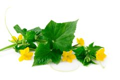 Germoglio verde del cetriolo con i fiori su un fondo bianco Fotografia Stock