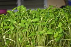 Germoglio verde del girasole che cresce dal seme a casa Fotografia Stock