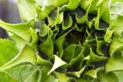 Germoglio verde del primo piano del girasole Fotografie Stock Libere da Diritti