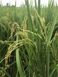 Germoglio verde del riso Fotografia Stock