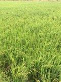 Germoglio verde del riso Fotografie Stock Libere da Diritti