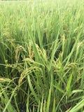 Germoglio verde del riso pronto Immagini Stock