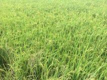 Germoglio verde del riso pronto Immagine Stock Libera da Diritti