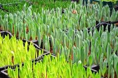 Germoglio verde giovanile del tulipano Fotografie Stock