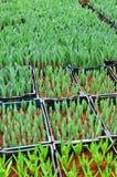 Germoglio verde giovanile del tulipano Immagini Stock