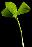 Germoglio verde isolato Fotografie Stock