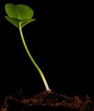 Germoglio verde isolato immagine stock libera da diritti
