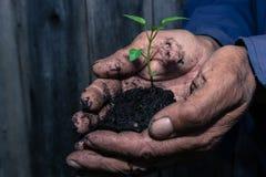Germoglio verde in una tenuta del terreno paludoso nelle mani di un pensionato di, agricoltore prima della piantatura Fotografia Stock Libera da Diritti