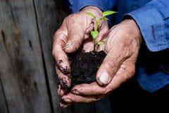 Germoglio verde in una tenuta del terreno paludoso nelle mani di un pensionato di, agricoltore prima della piantatura Immagine Stock Libera da Diritti