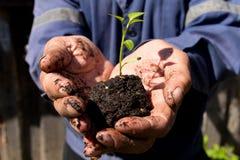 Germoglio verde in una tenuta del terreno paludoso nelle mani di un pensionato di, agricoltore prima della piantatura Immagini Stock