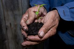 Germoglio verde in una tenuta del terreno paludoso nelle mani di un pensionato di, fa Immagine Stock