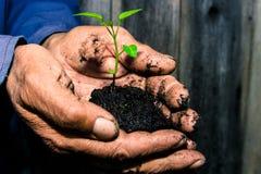 Germoglio verde in una tenuta del terreno paludoso nelle mani di un pensionato di, fa Immagini Stock