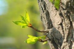 Germoglio verdeggiante Fotografia Stock
