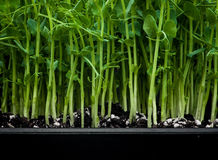 Germs. Of diferit comestibile plants from the garden Stock Photos
