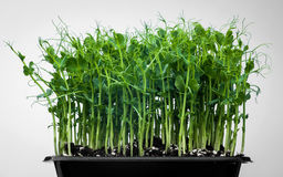 Germs. Of diferit comestibile plants from the garden Stock Photo