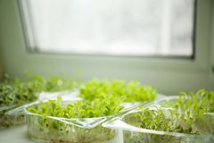 Germs of micro greens on the windowsill stock images