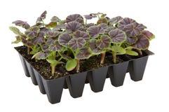 Gernaium växter kärnar ur in magasinet som är klart för att lägga in upp Fotografering för Bildbyråer