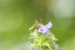 Geroepen de bloemvliegen van vlieghoverfly vliegt de soms of syrphid het vliegen hoverflyzitting dichtbij lilac bloem in de macro Royalty-vrije Stock Afbeelding