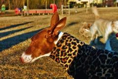 Geroepen Sighthounds, ook gazehounds, is rassen van jachthonden die hoofdzakelijk door gezicht en snelheid, eerder dan door geur  stock afbeeldingen