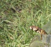 Gerrardii de Hemisphaeiodon un skink australiano de la lengua del rosa del reptil imagenes de archivo