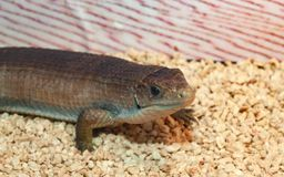 Gerrhosaurus ważna lub Sudan matrycująca jaszczurka fotografia royalty free