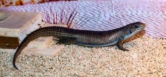 Gerrhosaurus ważna lub Sudan matrycująca jaszczurka obrazy royalty free