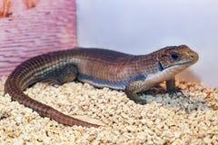 Gerrhosaurus ważna lub Sudan matrycująca jaszczurka zdjęcie royalty free