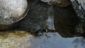 Gerridae zdjęcie wideo