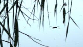 Gerridae die kleiner insect, aard eten van de capaciteit om op water, macro, meer, rivier, vijver, vijver, moeras te lopen stock video