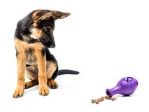 Gerrman shepherd puppy with treat release toy. Gerrman shepherd puppy looking curiously at rubber treat release puzzle toy shot on white Stock Photos