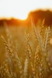 Gerst in zonsondergang Stock Afbeelding