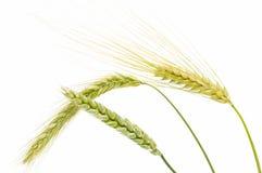 Gerste, Weizen und Roggen Stockfotos