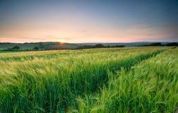 Gersten-Feld in Cornwall Lizenzfreies Stockfoto